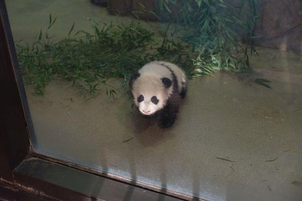 Panda Cub to Go on Display January 18