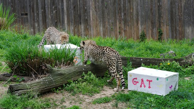A Deer Jumped Into the National Zoo's Cheetah Exhibit. Guess What Happened Next.