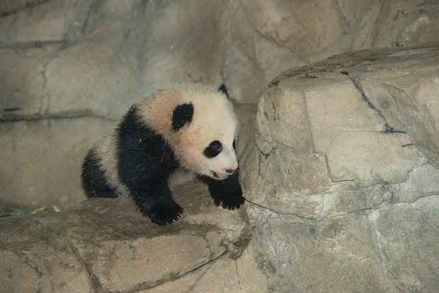 National Zoo Is Going to Put a Panda Photo on Instagram