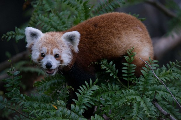 National Zoo Moves Rusty the Red Panda to Virginia