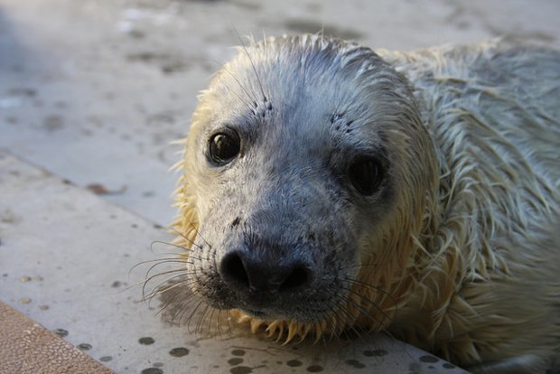 National Zoo Announces Birth of Gray Seal Pup