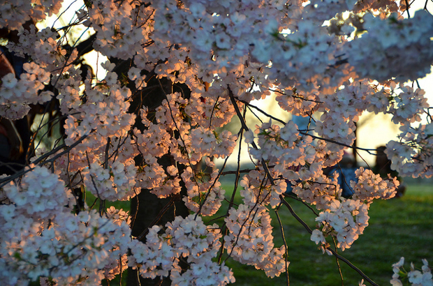 No Track Work on Metro During Cherry Blossom Festival