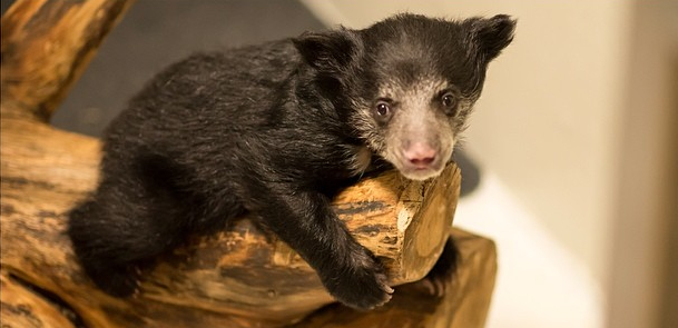 Sloth Bear at National Zoo Ate Two of Her Cubs, so Humans Are Raising the Third