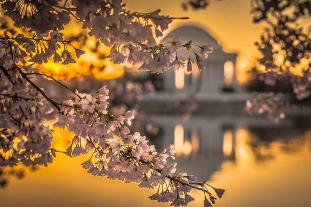 Cherry Blossoms Reach Peak Bloom