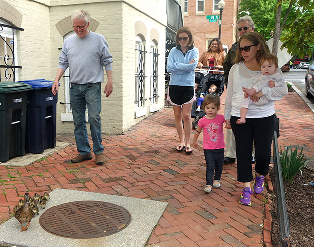 The Harrowing March of the Georgetown Ducklings (Photos)