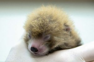 National Zoo's Red Pandas Give Birth to Three Cubs