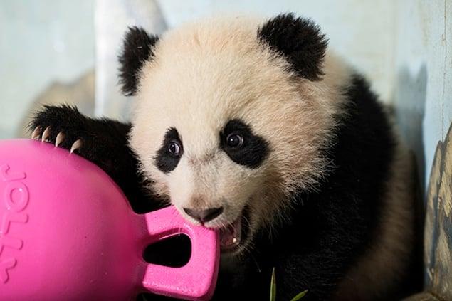 Bao Bao the Panda Turns 1 (Photos)