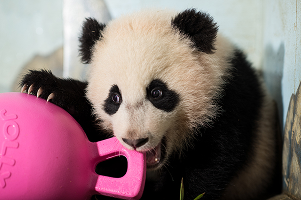 Bao Bao's New Toy
