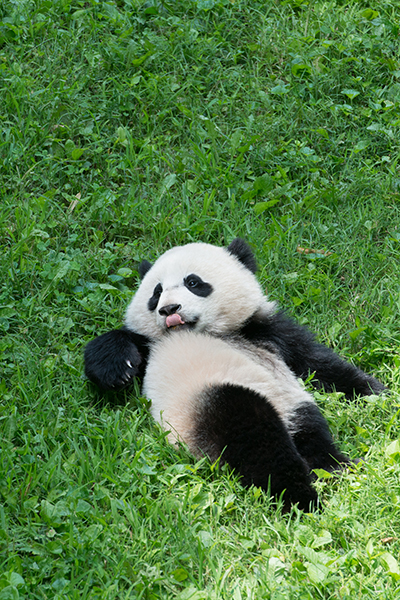 The Panda Life is the Good Life