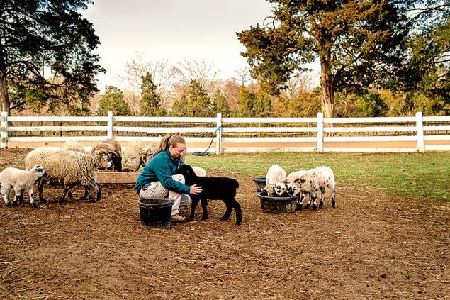 Herd Historian: Restocking Mount Vernon's Barnyard With Rare Breeds