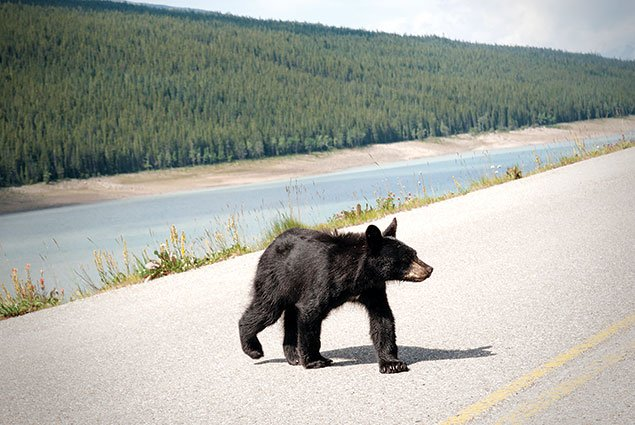Bear on Highway