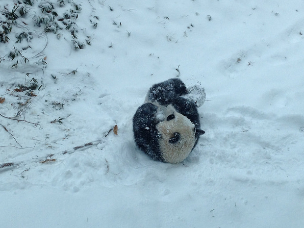 Stupid Bear Can't Stand Up in the Snow