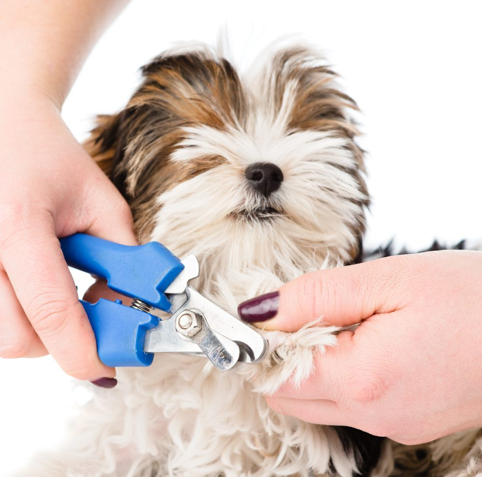 How Do I Cut My Dog's Nails Without Hurting Him?