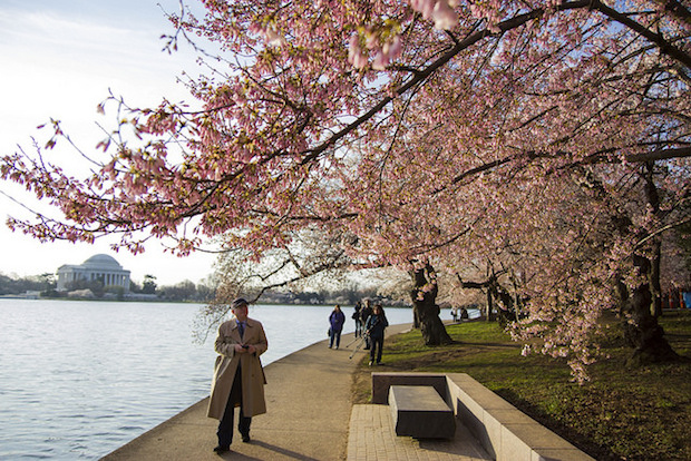 Cherry Blossom Festival Means Almost No Scheduled Track Work on Metro for a Month