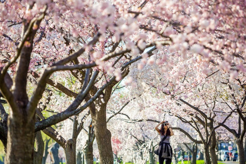 How to Take Good Photos at the Cherry Blossom Festival