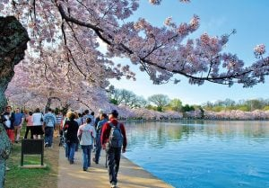 The Story Behind the National Cherry Blossom Festival
