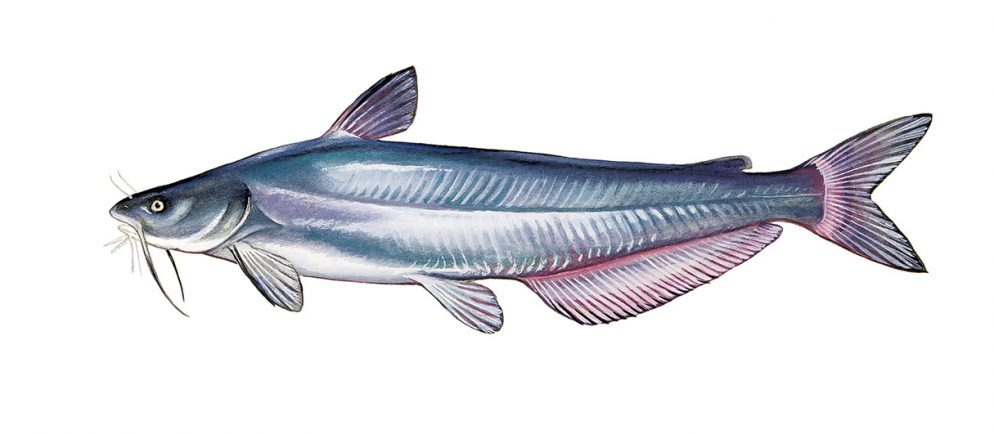 How Eating Blue Catfish Could Save the Chesapeake