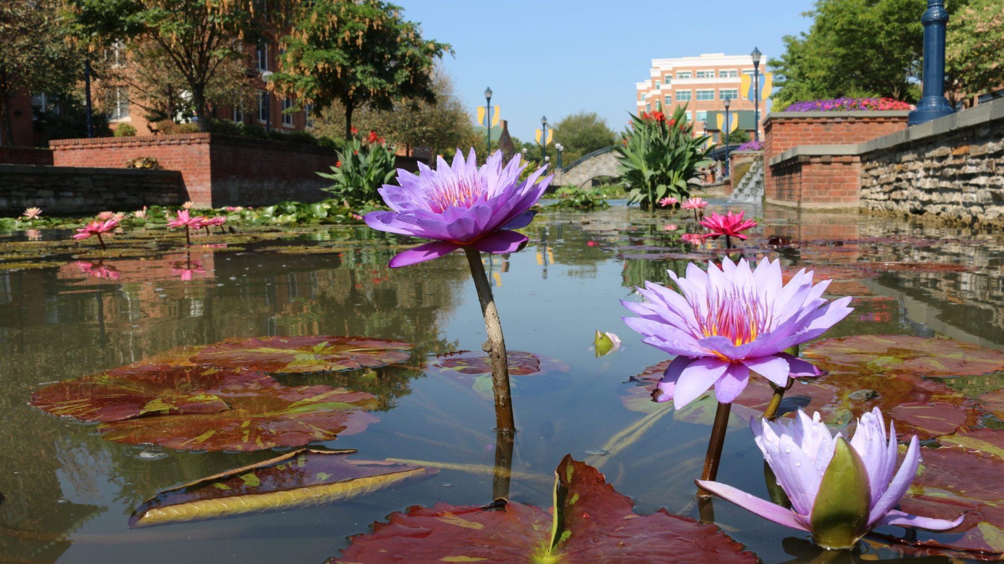 Check out this amazing water garden washingtonian are you a fan of monets water lily paintings then consider cruising up to frederick maryland this weekend to see a similarly dreamy tableau with your izmirmasajfo