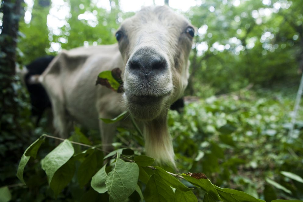 These Goats Are Cleaning Up Historic Congressional Cemetery