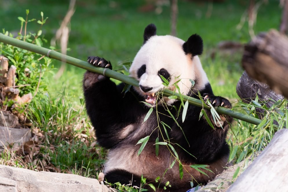 National Zoo Issues Alert for Heightened State of Panda Frenzy