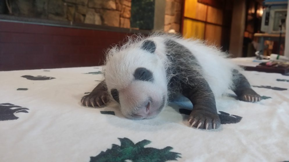 National Zoo Gets Another .5 Million in Panda Sex Money
