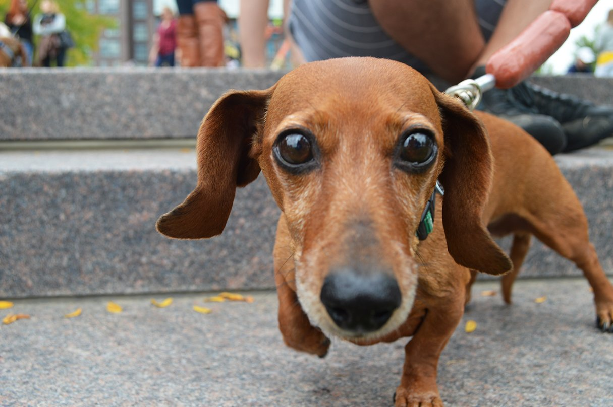 Photos: Dogs in Halloween Costumes at Parktoberfest's Dachshund Dash