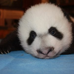 Here's Your Chance to See Bei Bei Before Everyone Else in DC