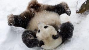 Clueless Panda Flops Around in Snow