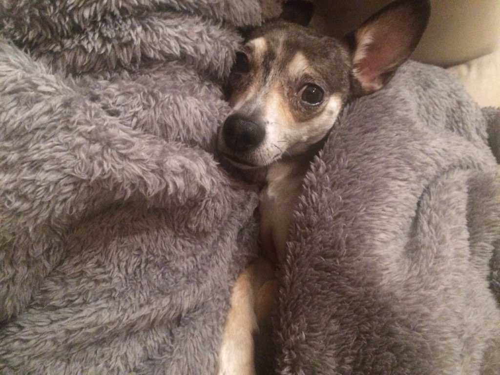 Zoey needed extra blanket snuggles after she got back in. Photo courtesy of Molly Schweickert.