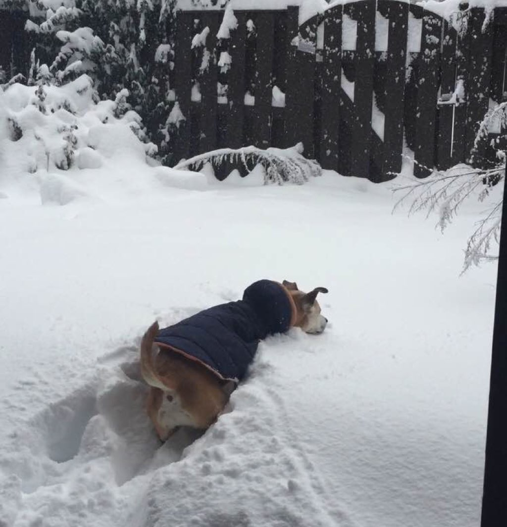 Strider is trying to be a snow plow. Photo courtesy of Colure Caulfield.