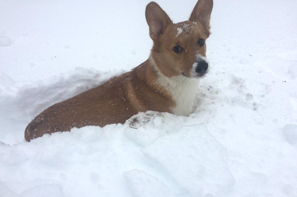 Every blizzard should have a corgi in the snow. Photo courtesy of Jessica Battaglia.