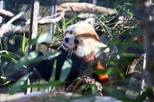 Washington Finally Has Red Pandas Again