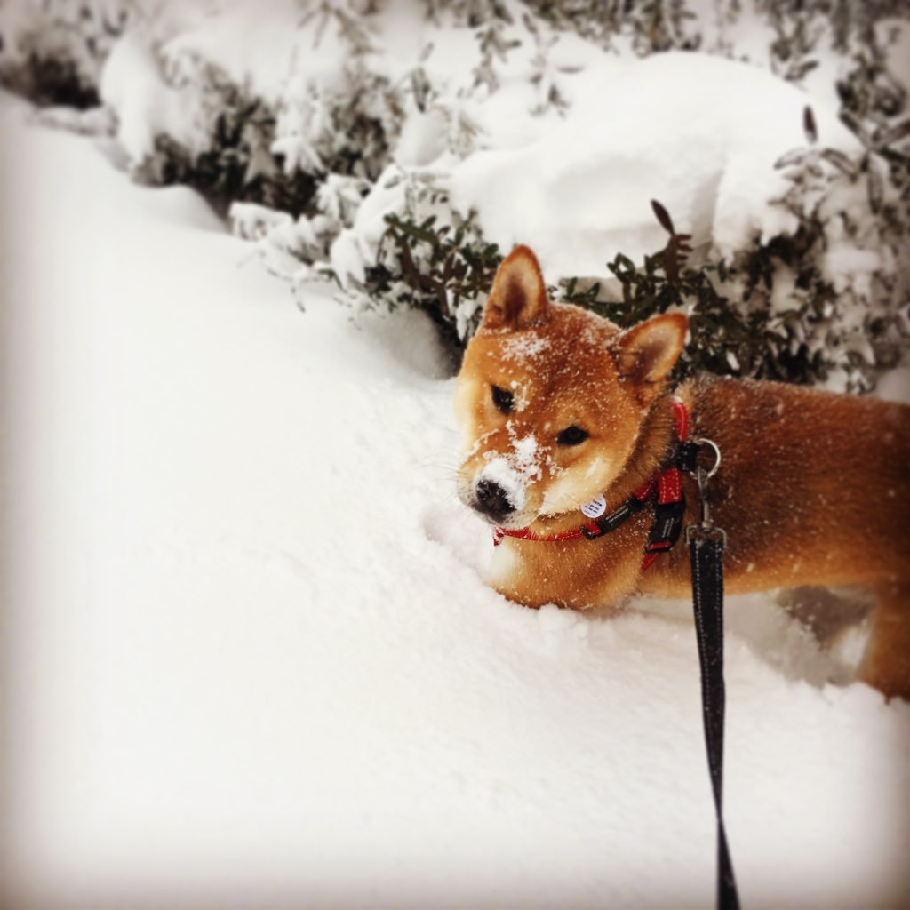 Winston made sure he was hard to lose in the snow. Photo courtesy of Alisha Rodriquez.