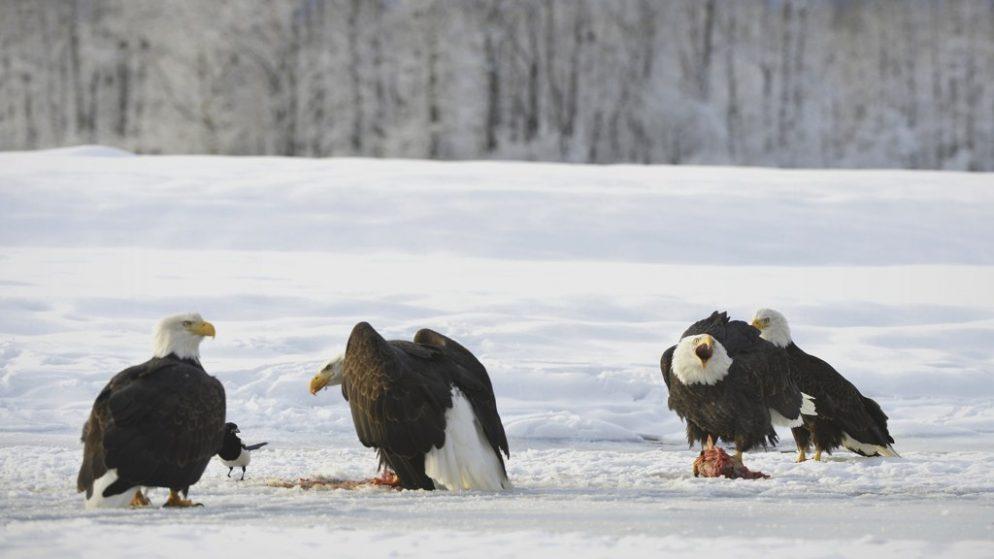 Officials Offer ,000 Reward for Information on Dead Eagles
