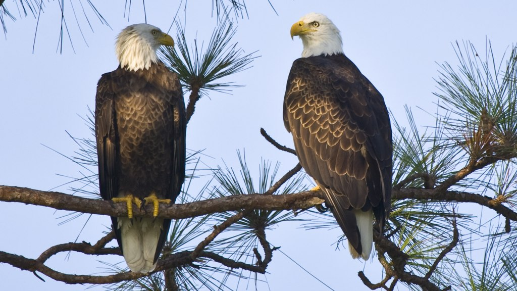 Bald Eagles Found Dead in Maryland