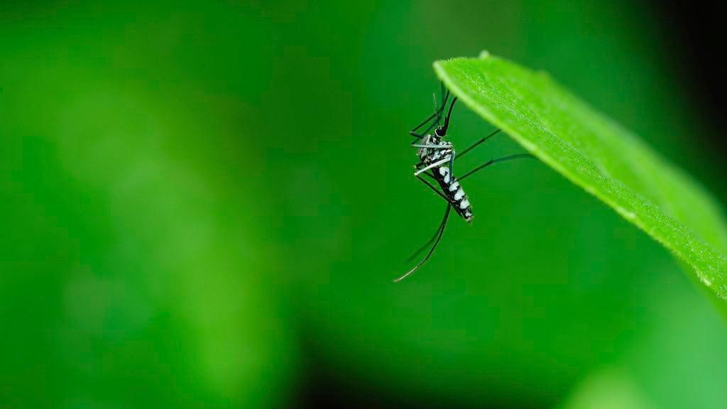 Aedes aegypti Zika Virus Carrying Mosquito