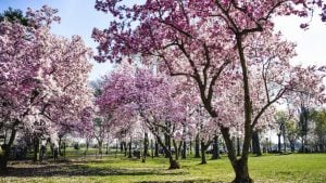 Cherry Blossoms Expected to Hit Peak Bloom March 31