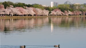 This Is the Perfect Piece of Music to Listen to When You See the Cherry Blossoms