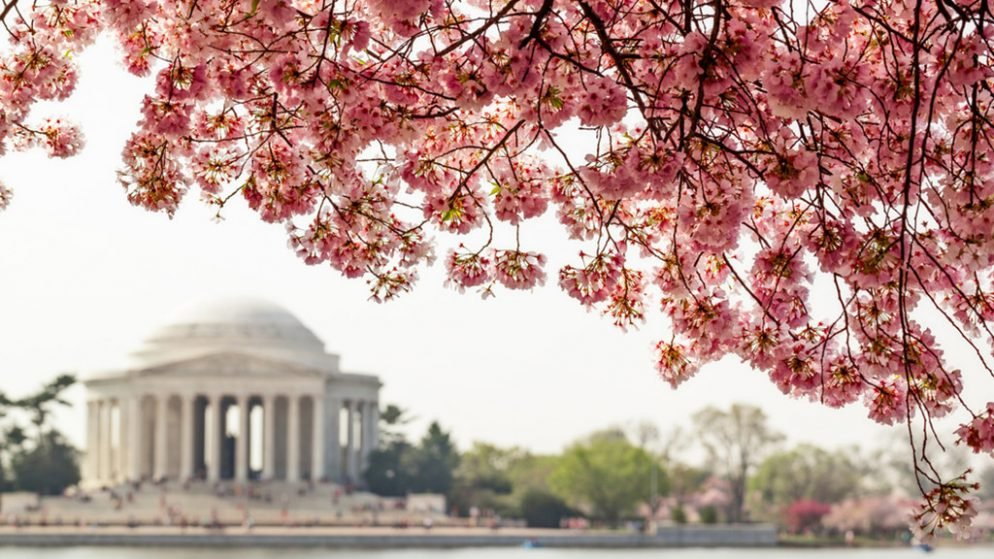 Cherry Blossoms bloom in DC.
