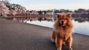 These DC Pets Are Loving the Cherry Blossoms Just As Much As Humans Are