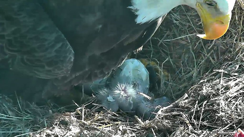 baby bald eagle
