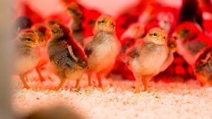 Photos of Adorable Baby Chicks–Just Because