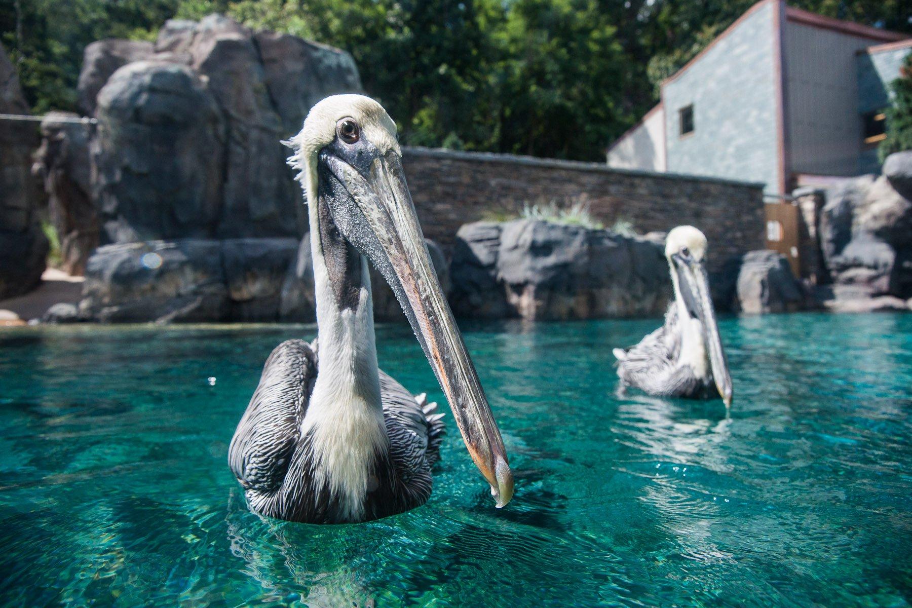 American Trail - Brown Pelican