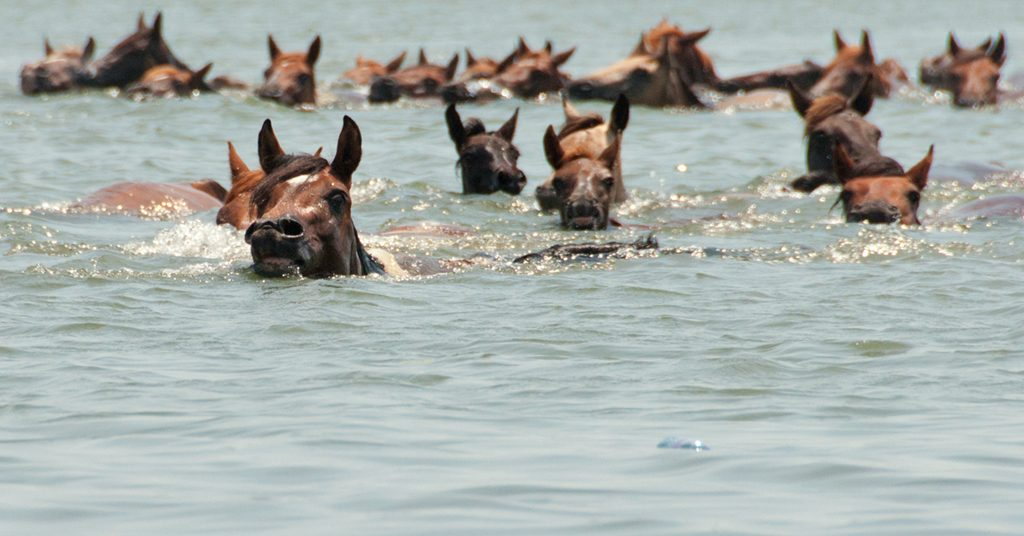 "Chincoteague ponies during the annual pony penning and swim from Assateague. Photograph by Bonnie U. Gruenberg/<a href=""https://commons.wikimedia.org/wiki/File:Chincoteague_Pony_swim_by_Bonnie_Gruenberg.jpg"">Wikimedia Commons</a>."