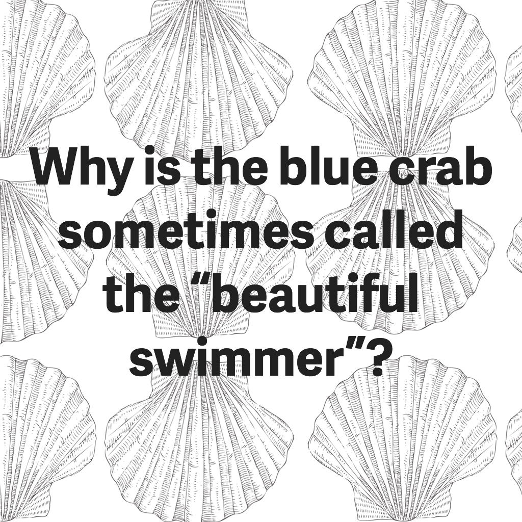 blue-crab-beautiful-swimmer