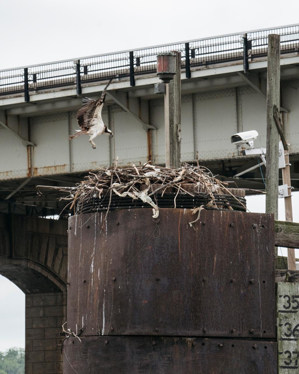 An osprey returns to its eggs–just below Southeast DC's Frederick Douglass Memorial Bridge–as a camera watches. Photograph by Greg Kahn.