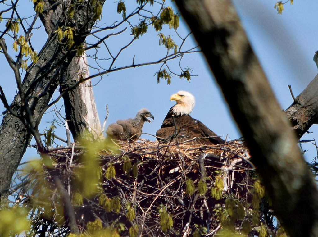 b8d91e136 The nest at St. Elizabeths Hospital. Since the eaglets hatched in March