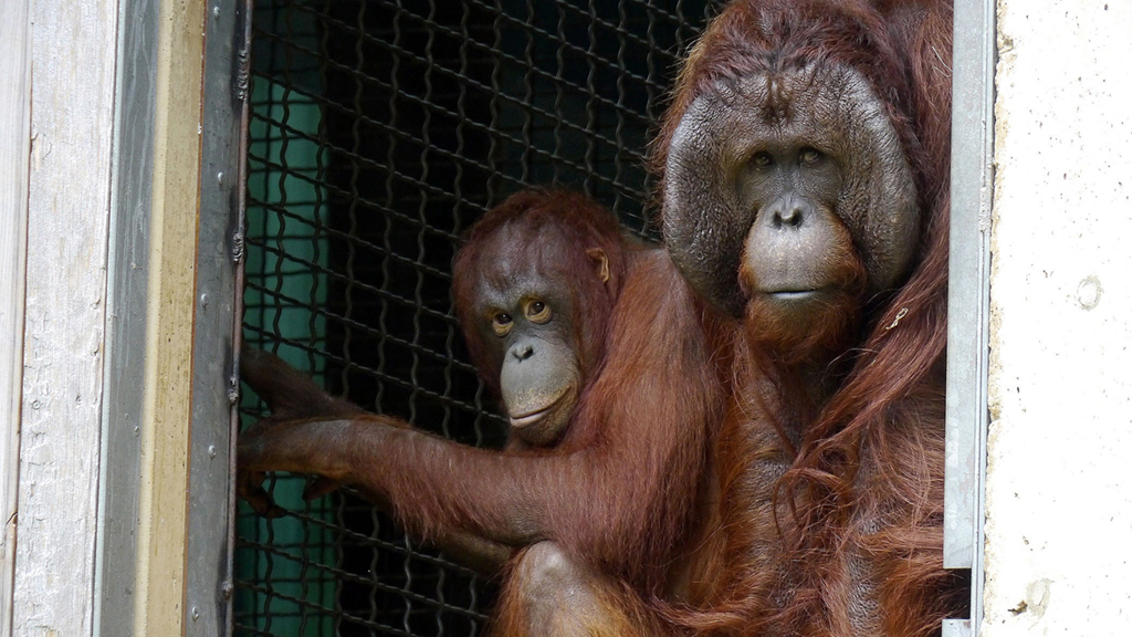 orangutan pregancy. The expecting parents: Batang, left, and Kyle, right. Photograph by Ann Batdorf, Smithsonian's National Zoo.