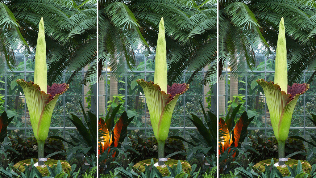The 2013 titan arum in full bloom. Photograph courtesy of the US Botanical Garden.