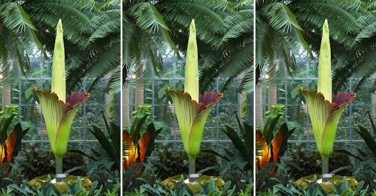 A Corpse Flower Is Blooming In Dc And It Smells Like Death Washingtonian